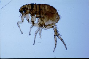 Cat flea, Ctenocephalides felis (Bouché): female. Photo by James L. Occi